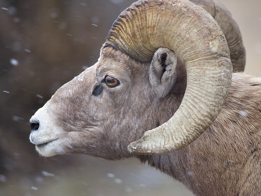 Rocky Mountain Bighorn ram, Custer State Park, Dec. 5, 2009.  Click for next photo.