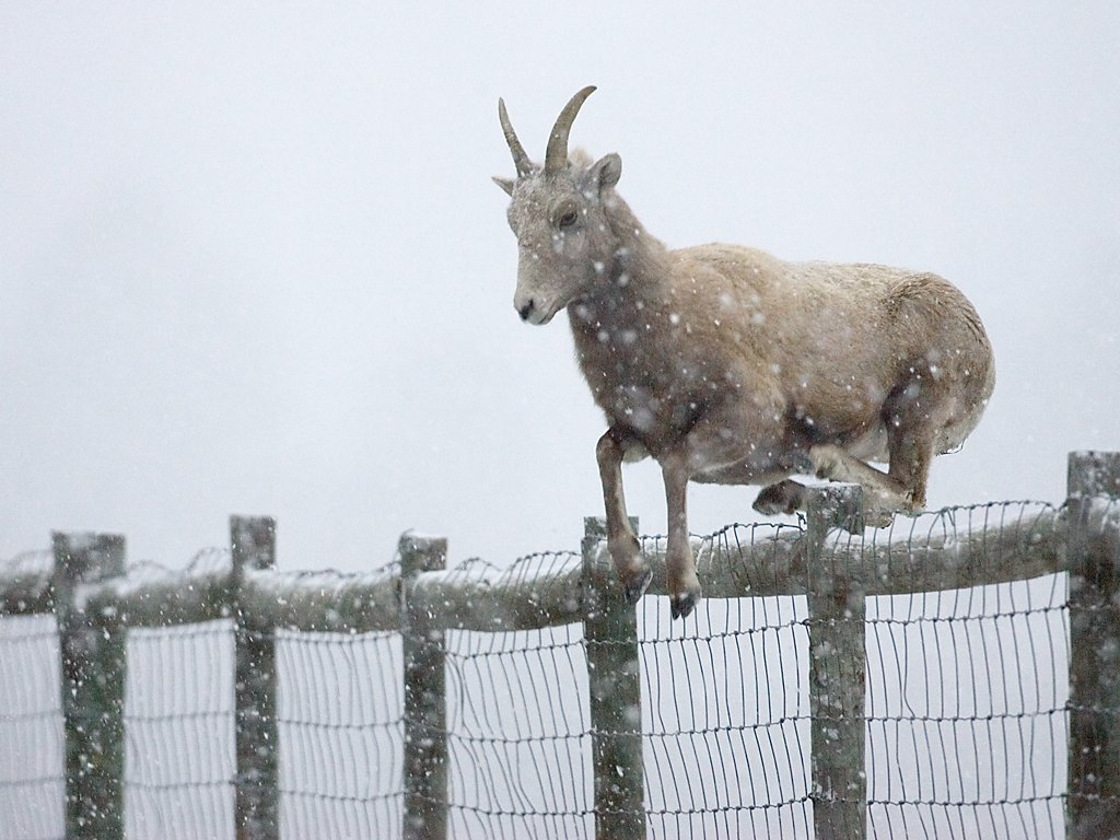 Rocky Mountain Bighorn ewe leaps 4-foot fence, Custer State Park, Dec. 5, 2009.  Click for next photo.