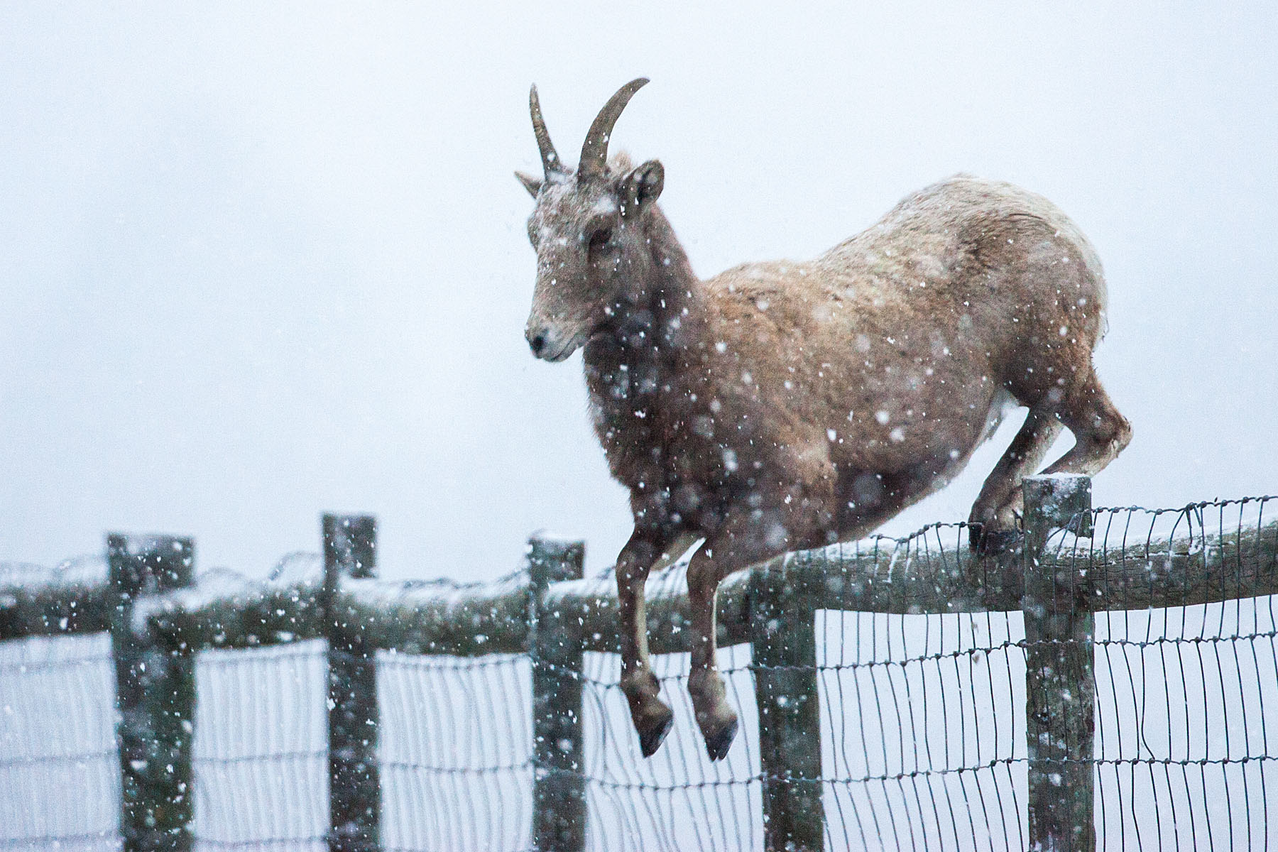 Rocky Mountain Bighorn ewe leaps 4-foot fence, Custer State Park, December 2009.  Click for next photo.