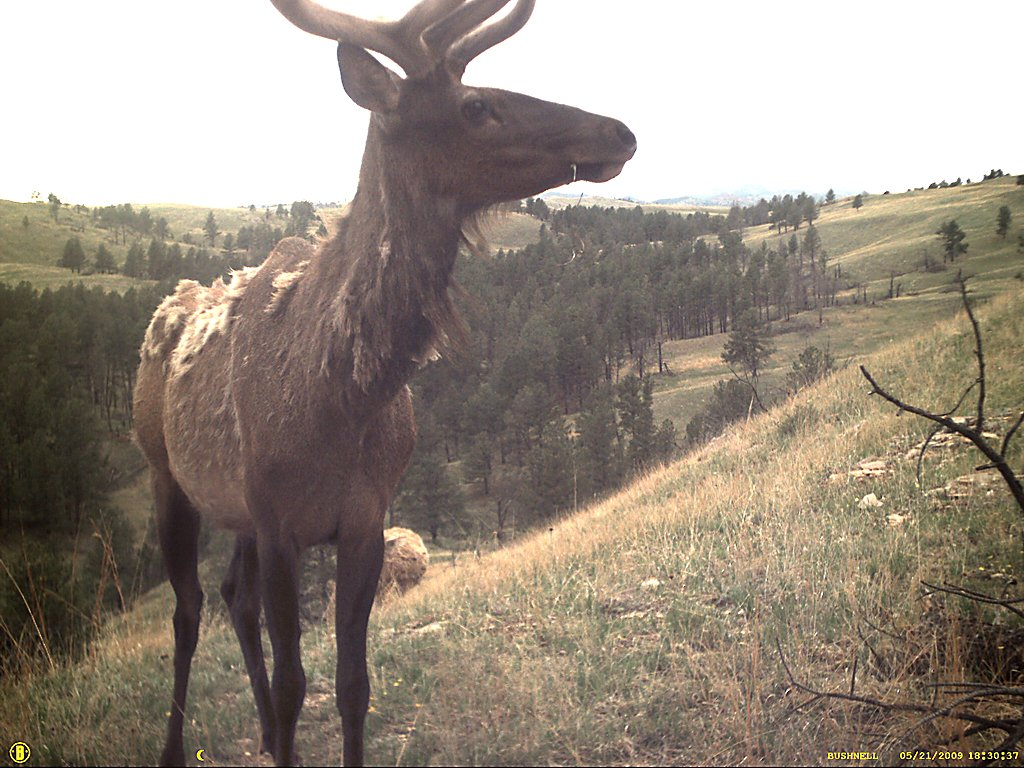 Elk captured by a trail camera, Wind Cave National Park, South Dakota, May 2009.  Click for next photo.