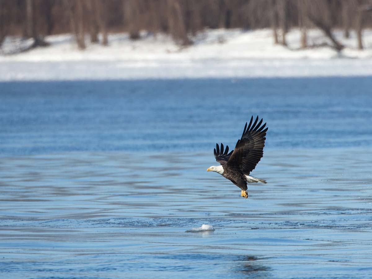 Bald Eagle over the Mississippi River, below Lock & Dam 18, Gladstone, Illinois, February 2011.  Click for next photo.