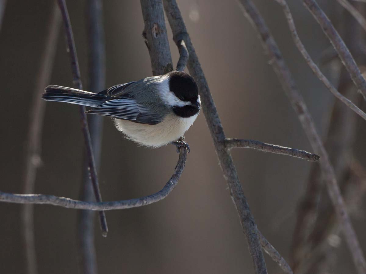Chickadee, Lock & Dam 18, Gladstone, Illinois, February 2011.  Click for next photo.