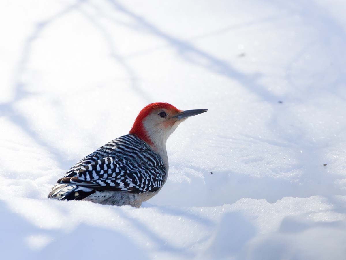 Red-bellied woodpecker, Lock & Dam 18, Gladstone, Illinois, February 2011.  Click for next photo.