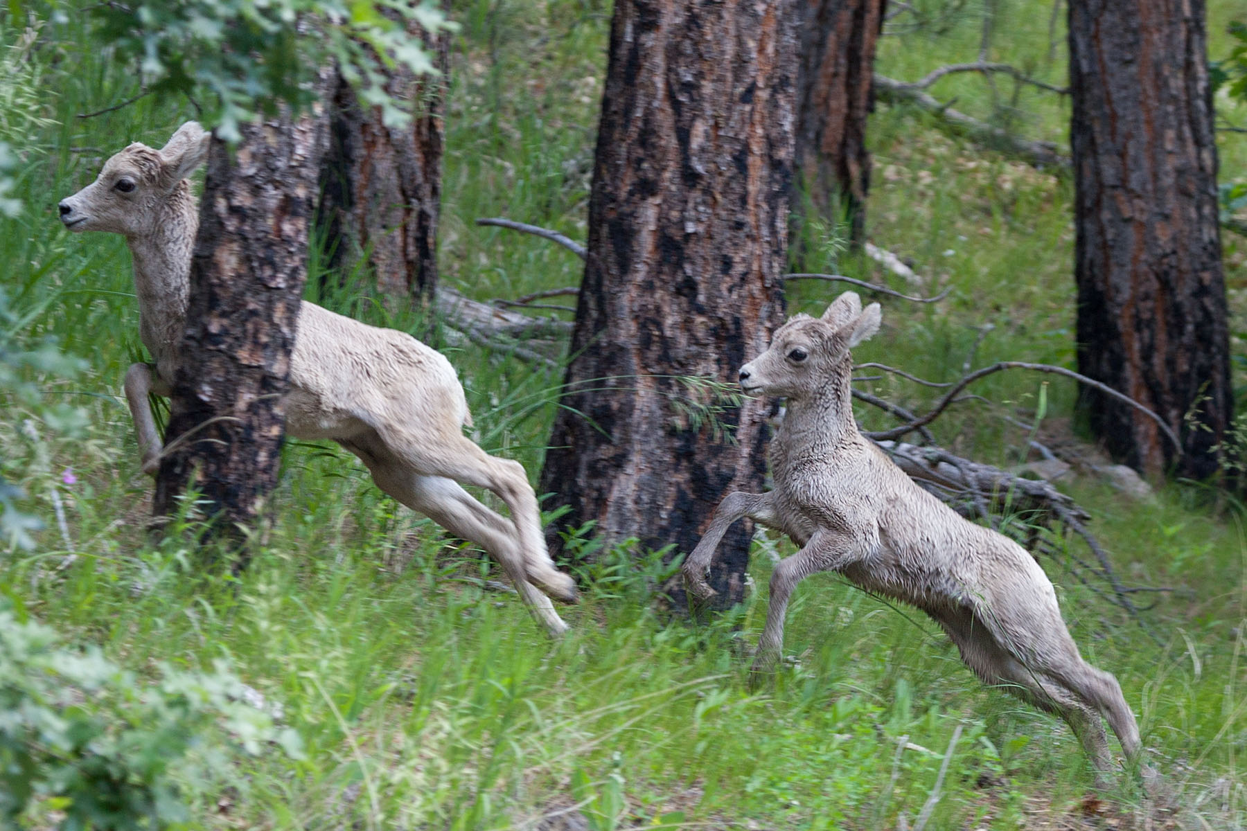 Rocky Mountain Bighorn lambs, Custer State Park, July 2011.  Click for next photo.