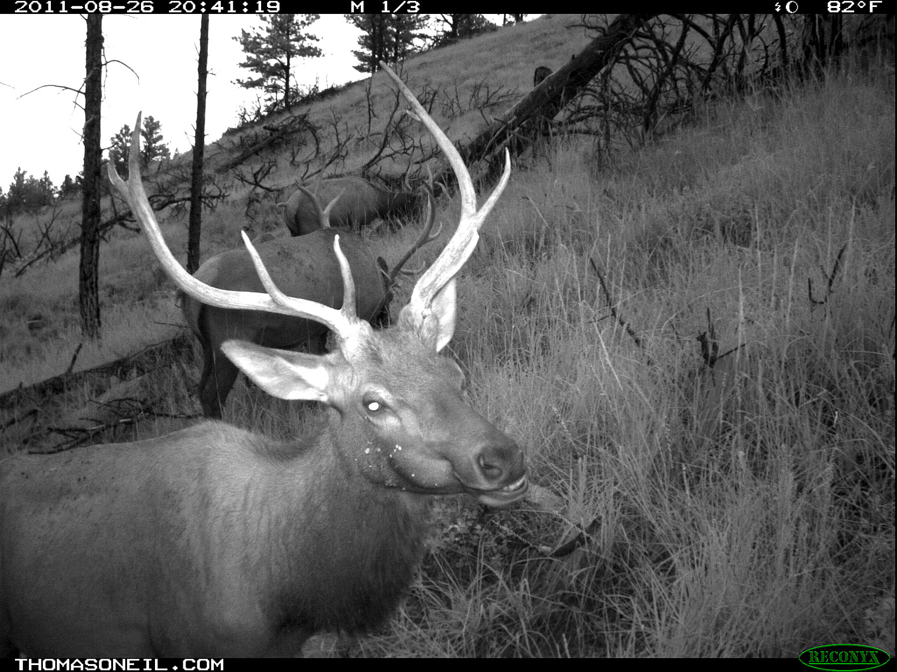 Elk on trail camera as dusk falls, Wind Cave National Park, August 2011.  Click for next photo.