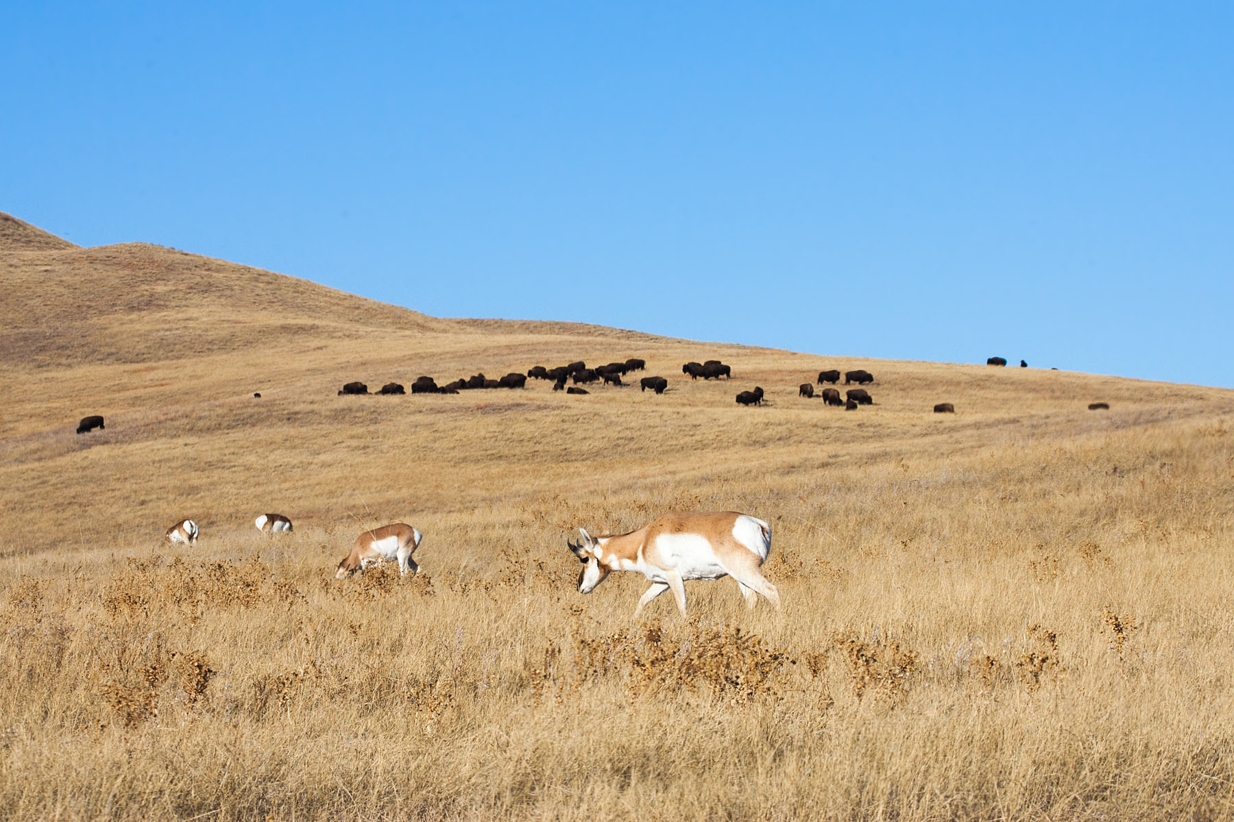 Pronghorns and bison, Custer State Park, December 2011.  Click for next photo.