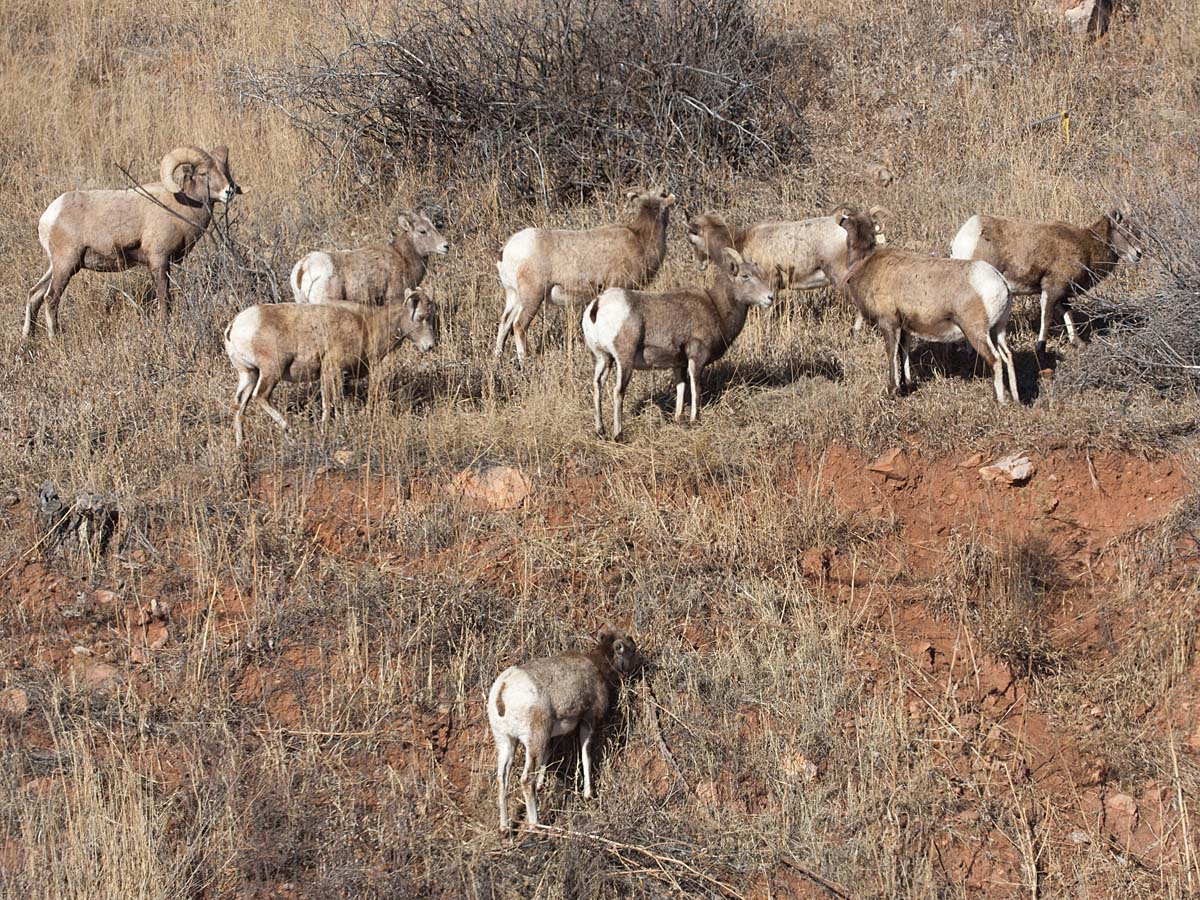 Bighorns, Cleghorn Canyon, SD, January 2011.  Click for next photo.