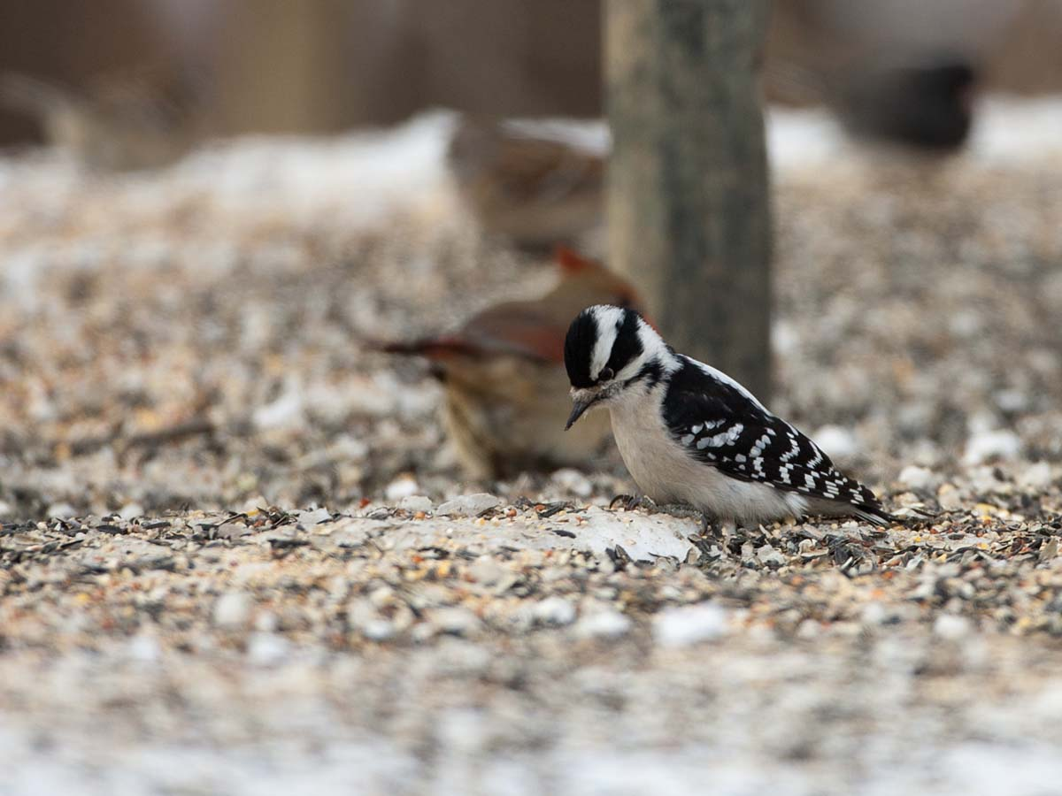 Downey woodpecker at feeder, Credit Island, Iowa, February 2011.  Click for next photo.