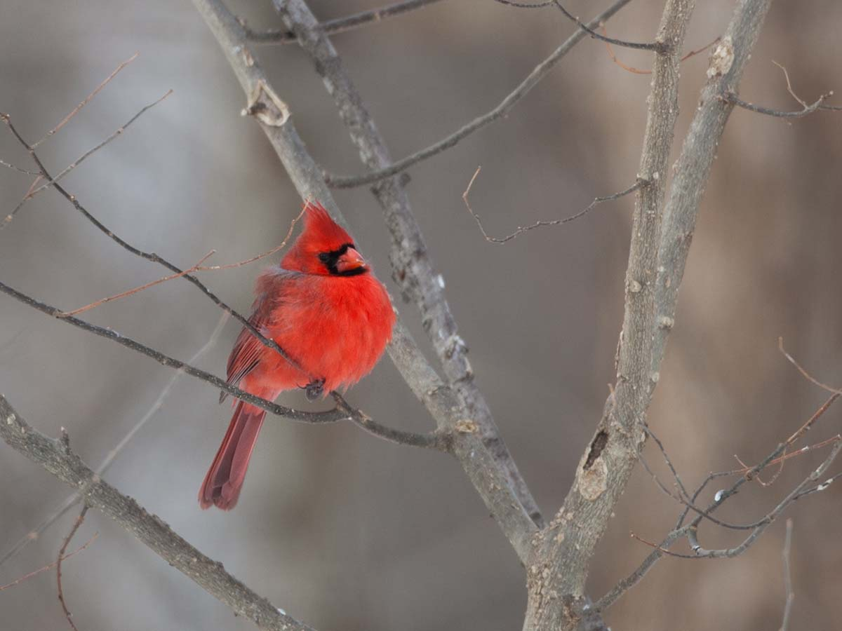 Cardinal, Credit Island, Iowa, February 2011.  Click for next photo.