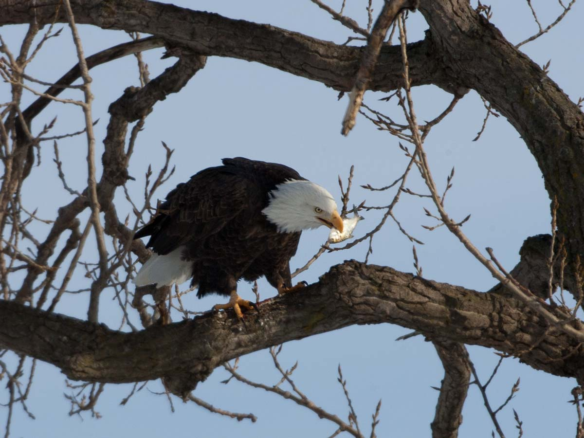 Bald Eagle having a meal, Keokuk, Iowa, February 2011.  Click for next photo.