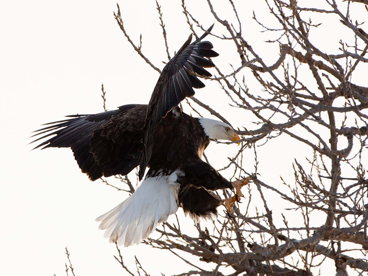 Bald Eagle coming in for a landing, Keokuk, Iowa, February 2011.  Click for next photo.