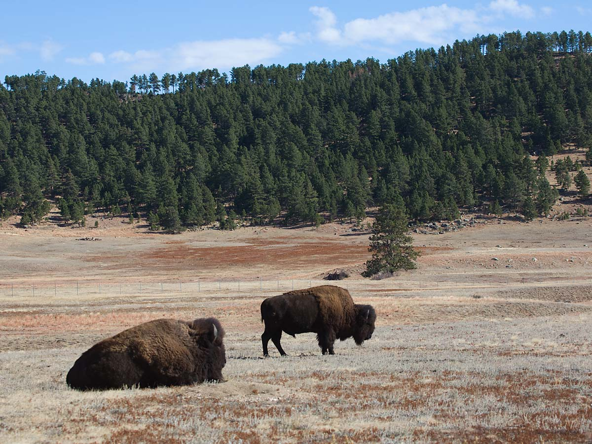 Bison, Custer State Park, October.  Click for next photo.
