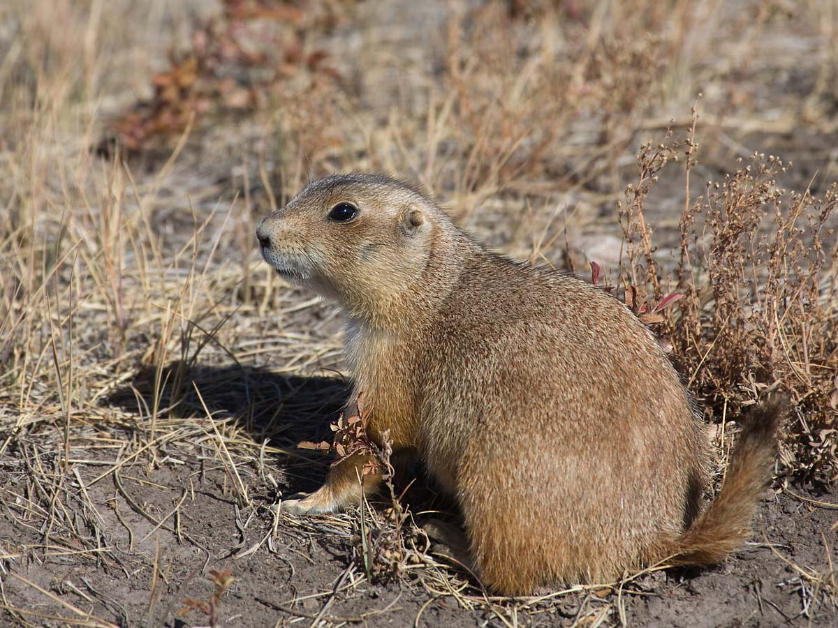Prairie dog, Wind Cave National Park, October.  Click for next photo.