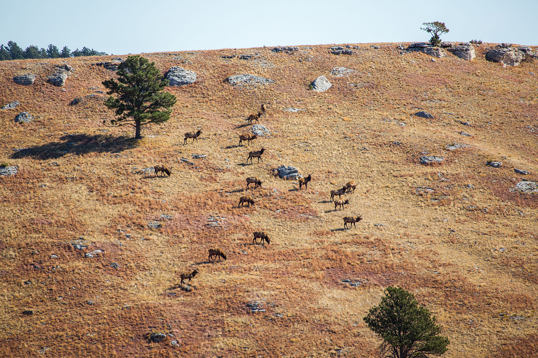 Sixteen elk on a hillside, Wind Cave National Park, October.  Click for next photo.