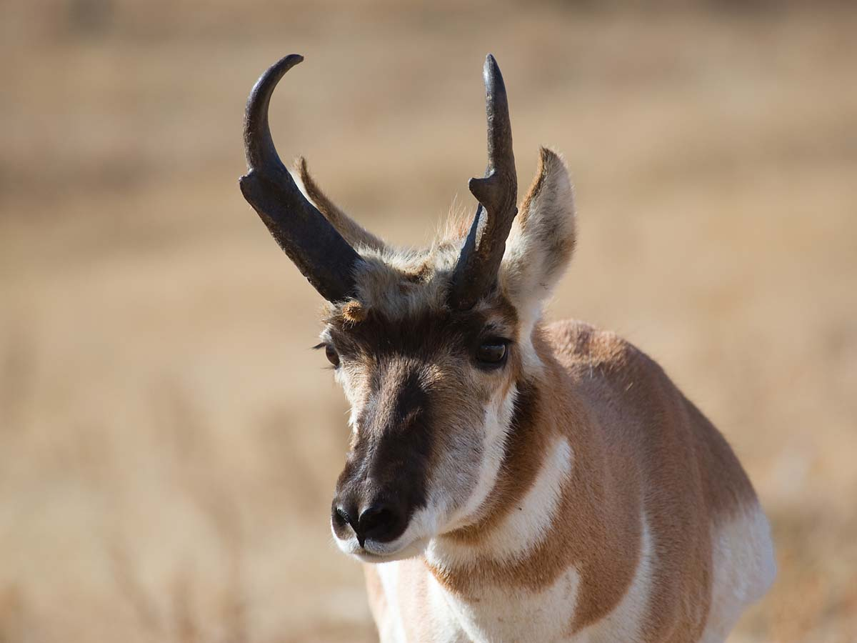 Pronghorn, Custer State Park, October.  Click for next photo.