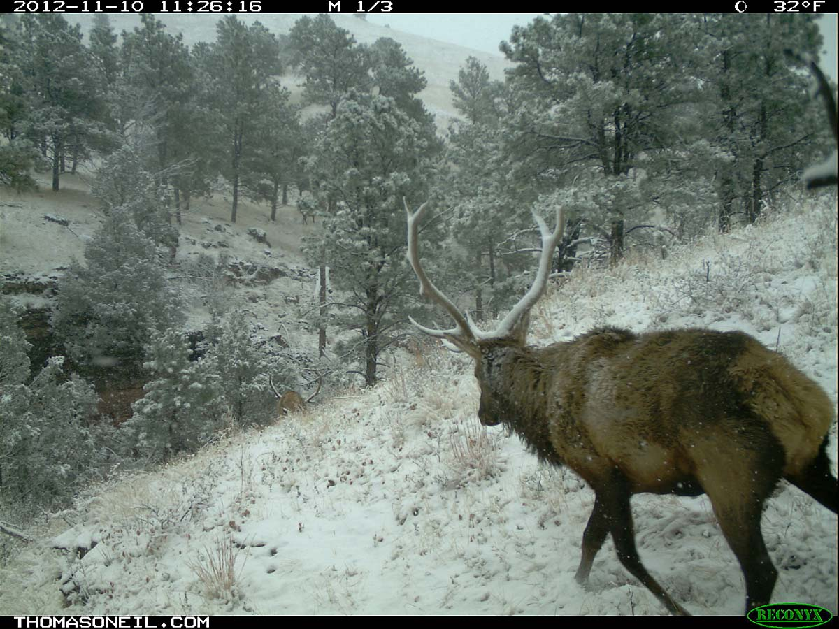 Elk with snow on its antlers, trailcam photo from Nov. 10, 2012, Wind Cave National Park, South Dakota.  Click for next photo.