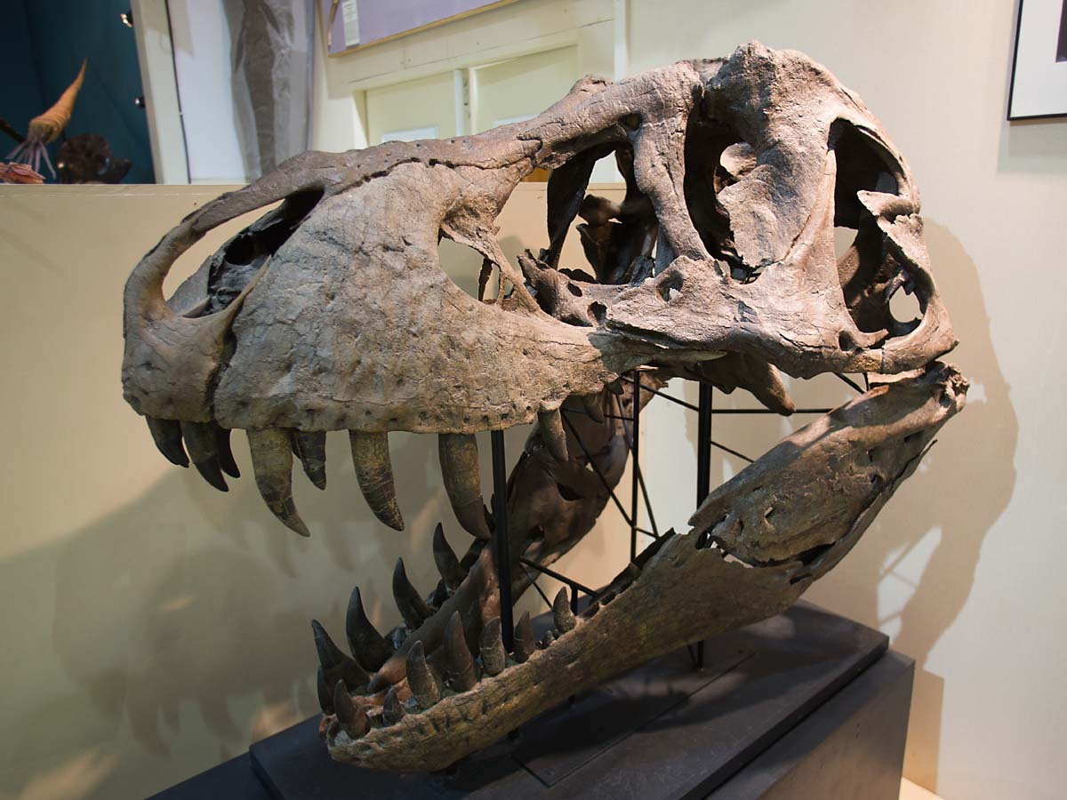 The Tyrannosaurus Rex skull is too heavy to mount on the skeleton, so this is Stan´s skull, Black Hills Institute, Hill City, October.    Click for next photo.