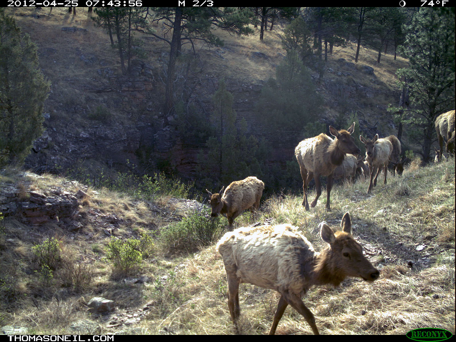 Trailcam picture of elk, Wind Cave National Park, April 25.  Click for next photo.