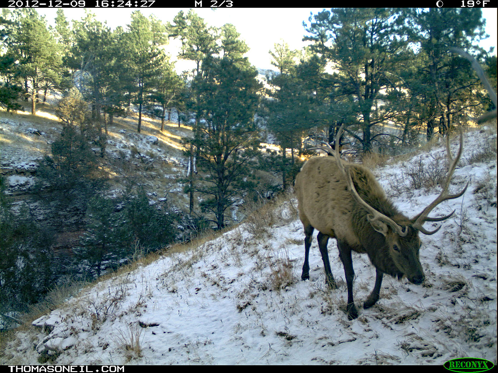 Elk, trailcam photo from Dec. 9, 2012, Wind Cave National Park, South Dakota.  Click for next photo.