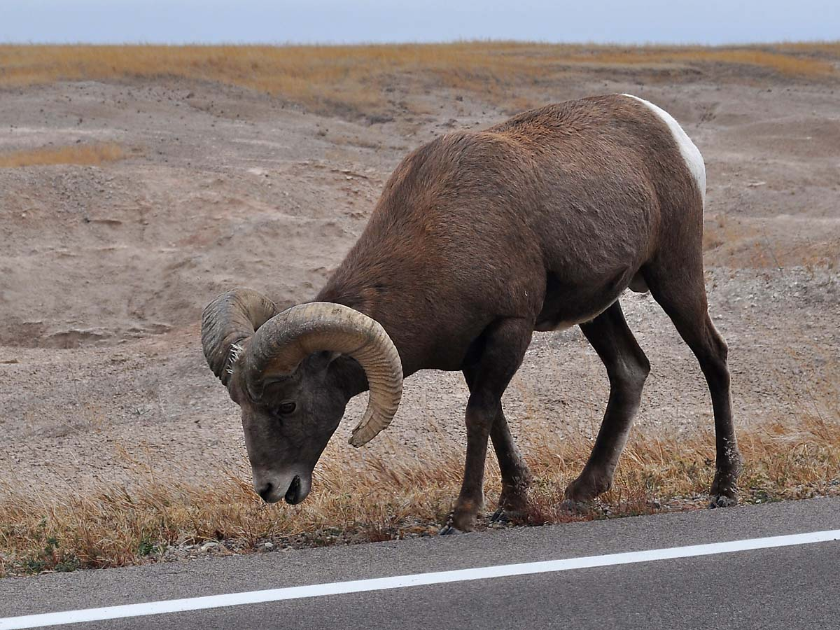 Bighorn sheep in South Dakota Badlands, October.  Click for next photo.