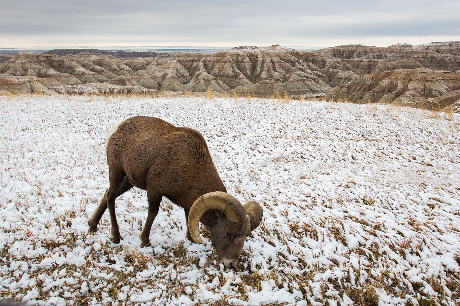Bighorn sheep in the Badlands after an October 2012 snow.  I was on the wrong side of the car so I passed the camera to my future fiancé Sue, who took this shot.  Click for next photo.