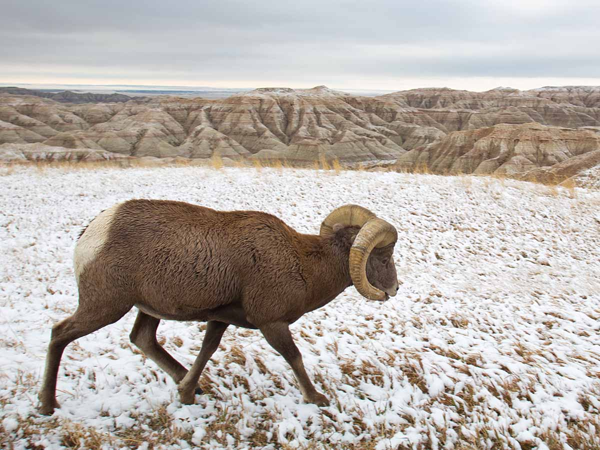 Bighorn sheep in South Dakota Badlands after an October snow.  I was on the wrong side of the car so I passed the camera to my friend Sue, who took this shot.  Click for next photo.