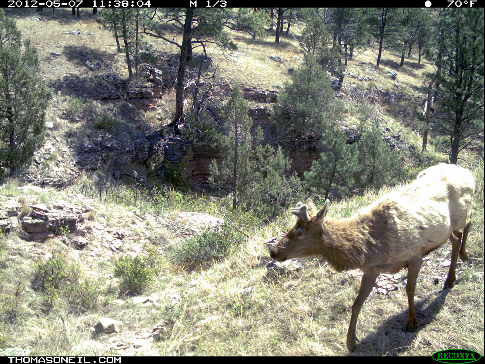 Trailcam picture of elk, Wind Cave National Park, May 7.  Click for next photo.