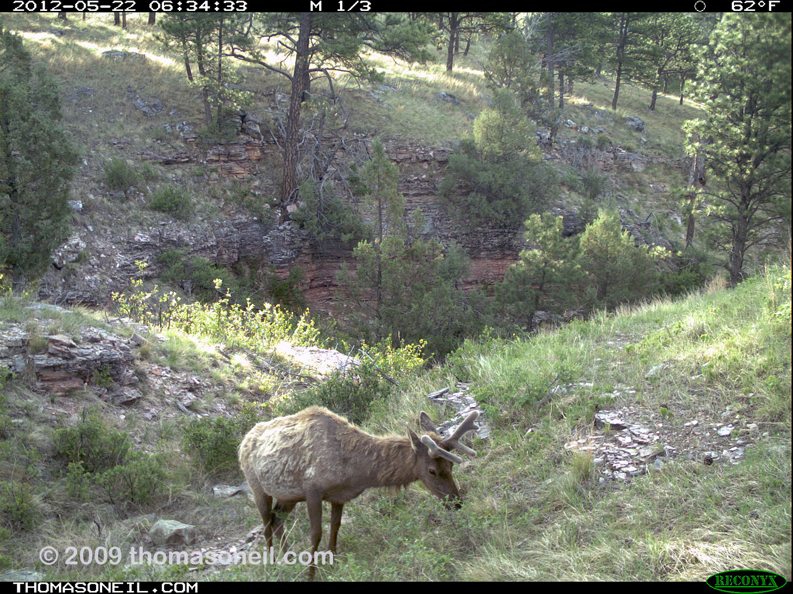 Trailcam picture of elk, Wind Cave National Park, May 22.  Click for next photo.