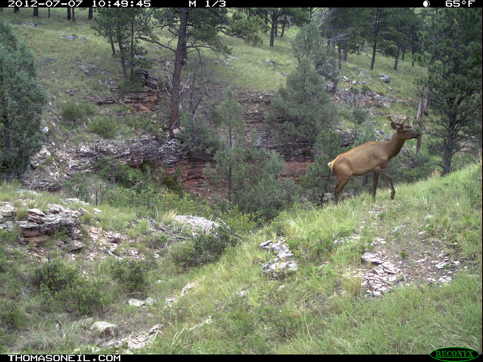 Trailcam picture of elk, Wind Cave National Park, July 7.  Click for next photo.
