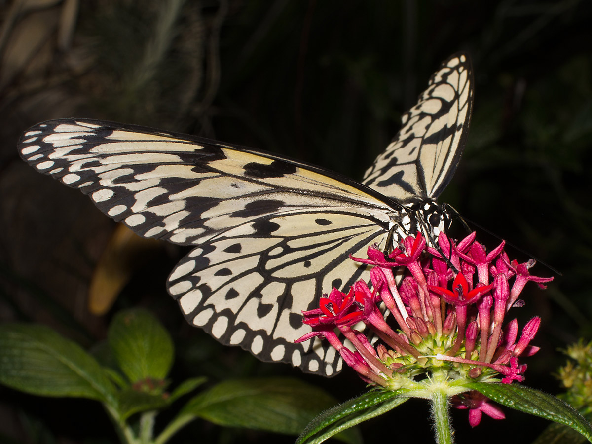 Butterflies American Museum Natural History