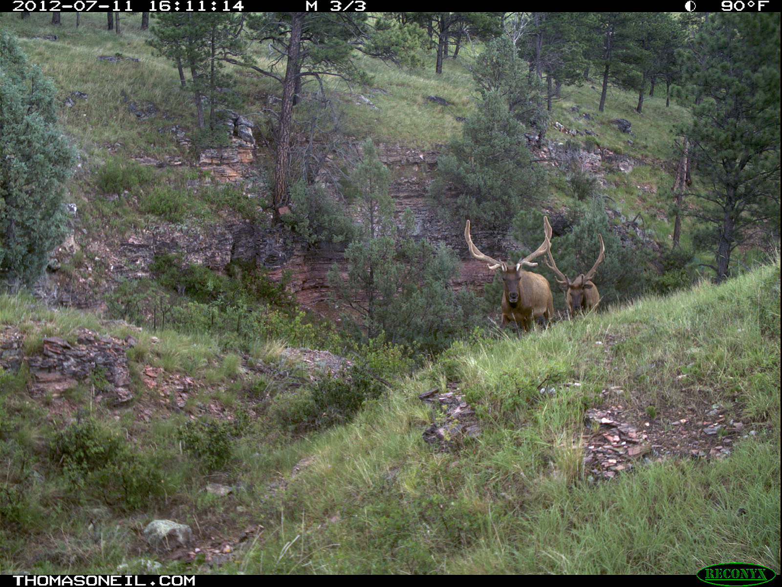 Trailcam picture of elk, Wind Cave National Park, July 11.  Click for next photo.