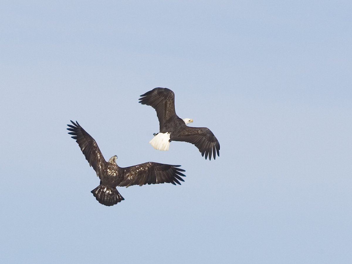 Eagles sparring, Lock and Dam 18, Iowa/Illinois, January 2012.  Click for next photo.