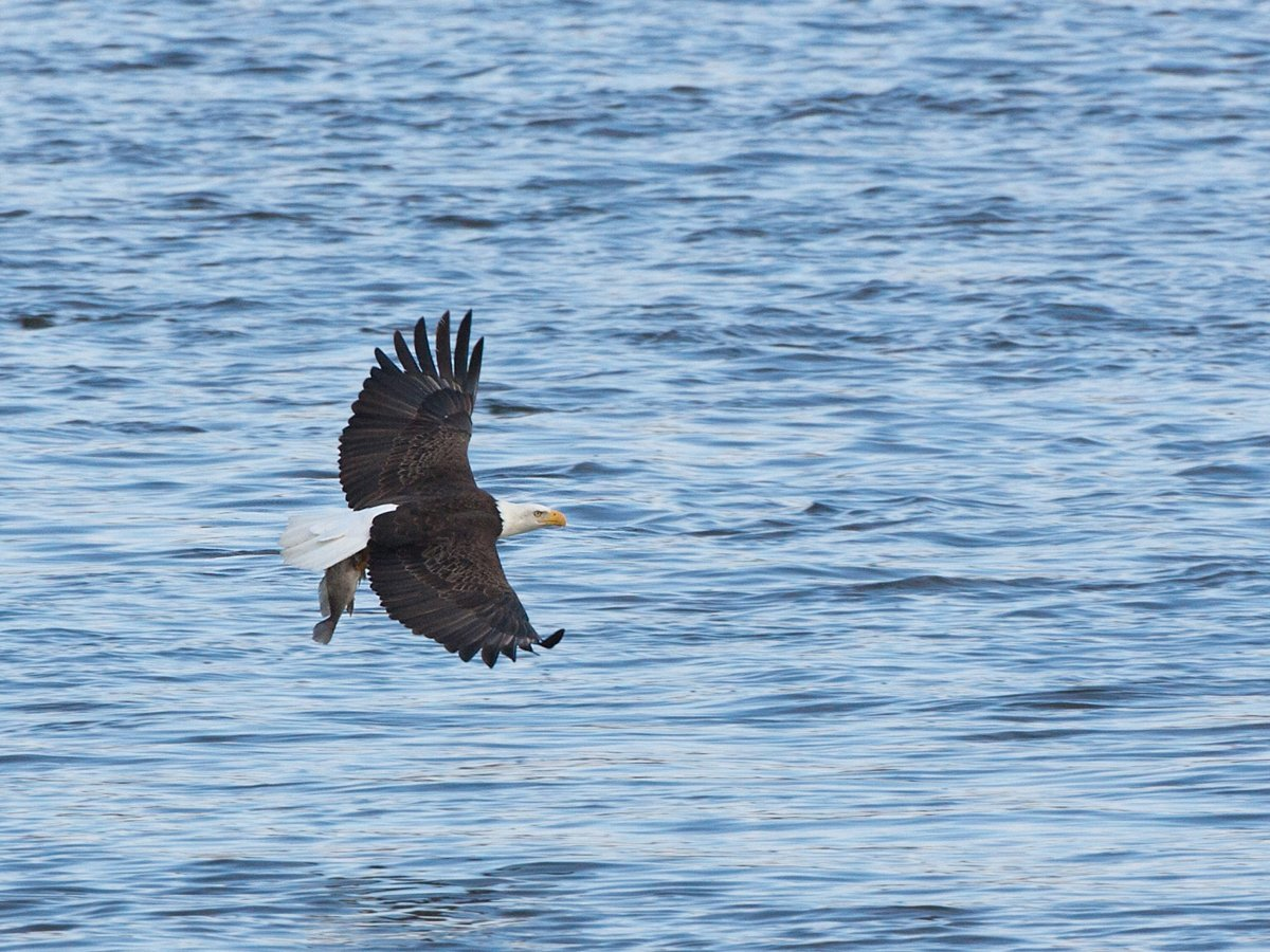 Eagle with a big fish, Lock and Dam 18, Iowa/Illinois, January 2012.  Click for next photo.