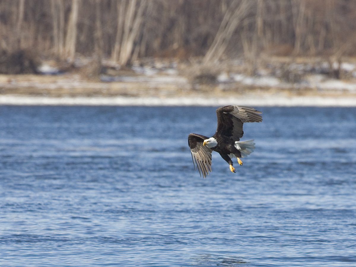 Eagle over the river, Lock and Dam 18, Iowa/Illinois, January 2012.  Click for next photo.