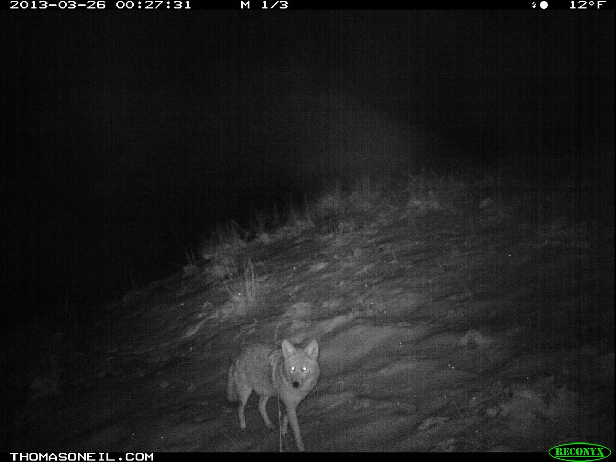 Coyote on trail camera, Wind Cave National Park, South Dakota, March 26, 2013.  Click for next photo.