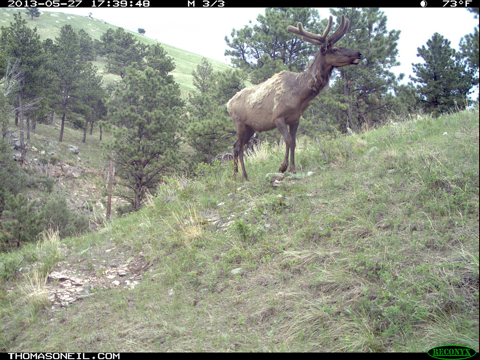 Elk on trail camera, Wind Cave National Park, South Dakota, May 27, 2013.  Click for next photo.