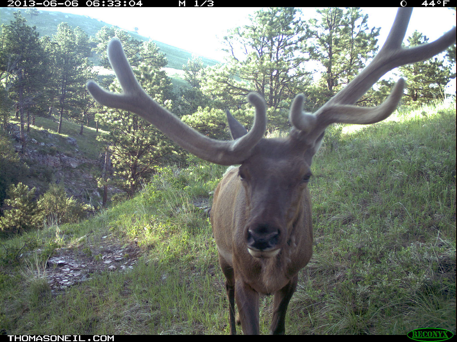 Lopsided antlers, elk on trail camera, Wind Cave National Park, South Dakota, June 6, 2013.  Click for next photo.