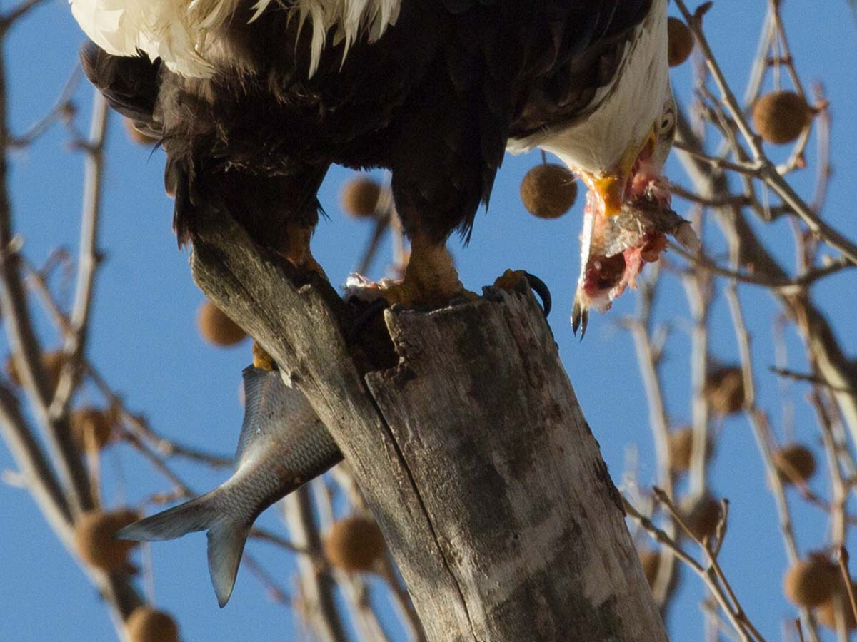 Bald eagle tearing apart a fish, Ft. Madison, Iowa, January 2013.  Click for next photo.
