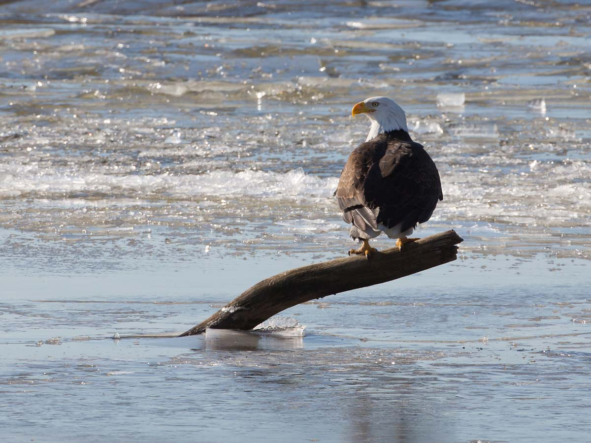 Bald eagle on the frozen Mississippi River shore, Ft. Madison, Iowa, January 2013.  Click for next photo.