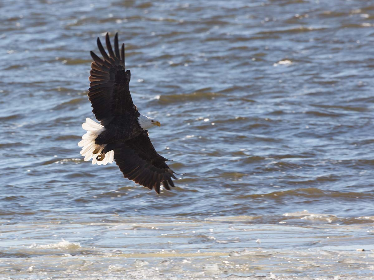 Bald eagle over the Mississippi River, Ft. Madison, Iowa, January 2013.  Click for next photo.
