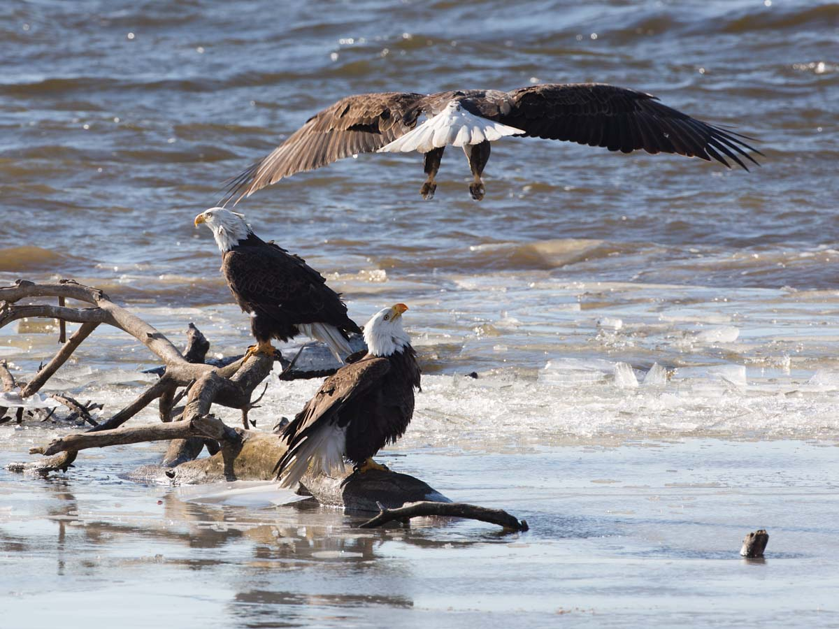 Bald eagles on the frozen Mississippi River shore, Ft. Madison, Iowa, January 2013.  Click for next photo.