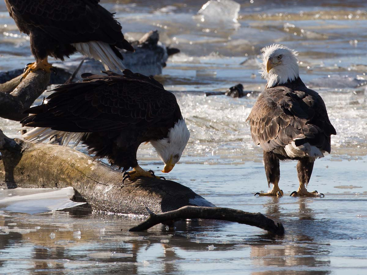 Eagles on the frozen Mississippi River shore, Ft. Madison, Iowa, January 2013.  Click for next photo.