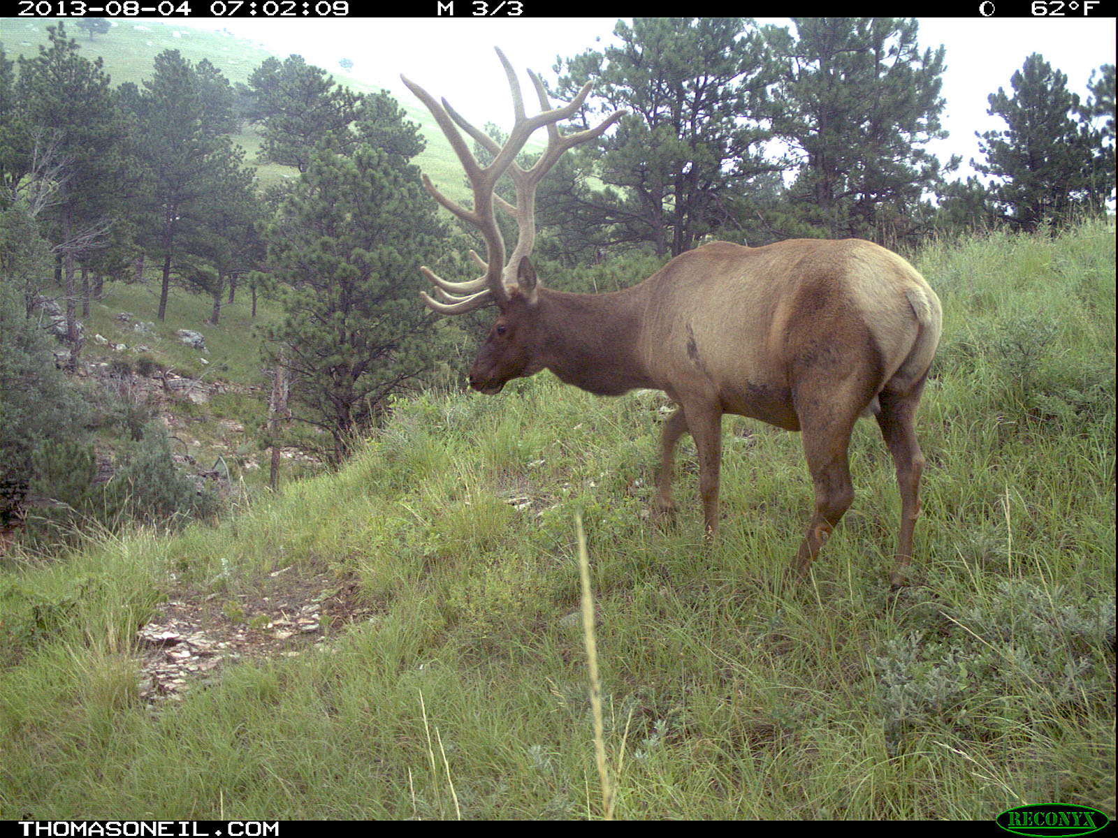 Elk on trail camera, Wind Cave National Park, South Dakota, August 8, 2013.  Click for next photo.