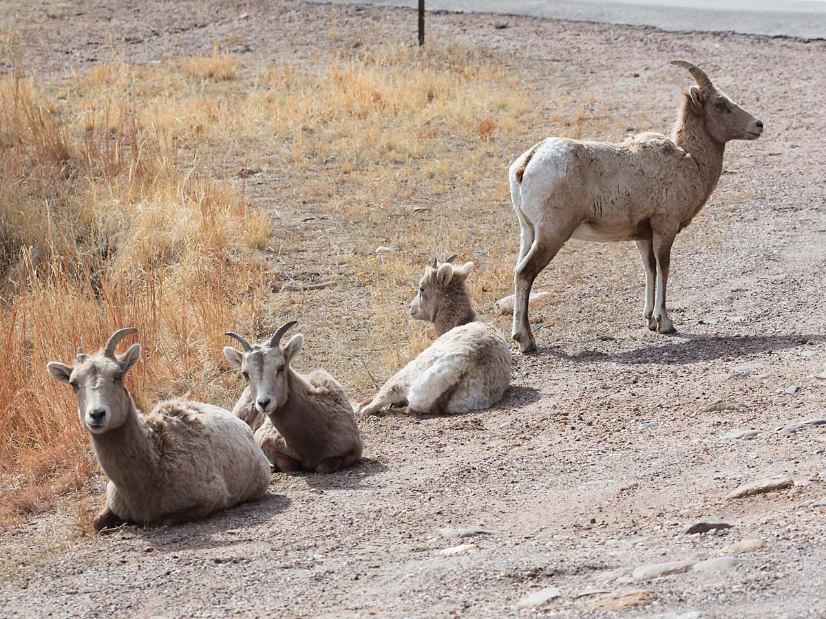 Bighorn ewes lounging by the side of the highway, Custer State Park, South Dakota.  Click for next photo.