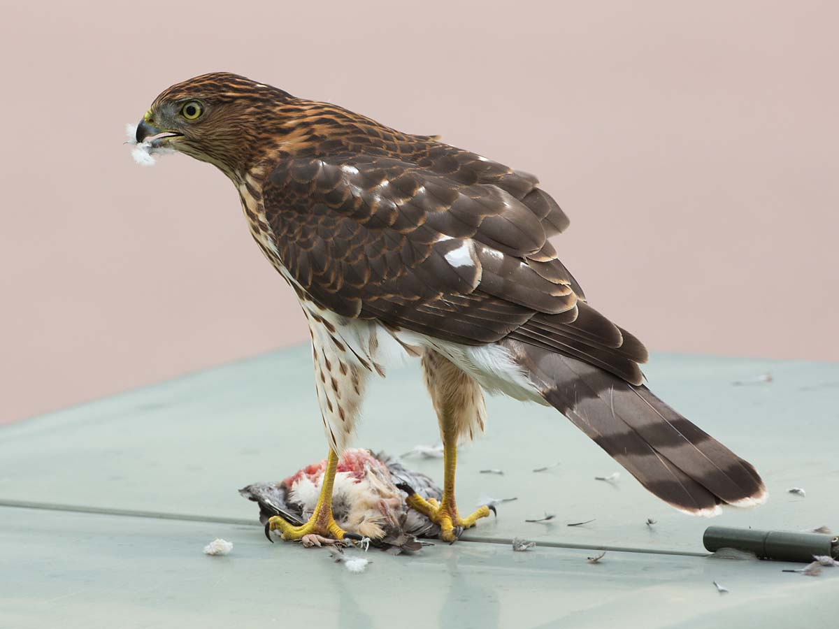 Cooper's Hawk dining on some other bird in front of my house, South Dakota, September 2013.  Click for next photo.
