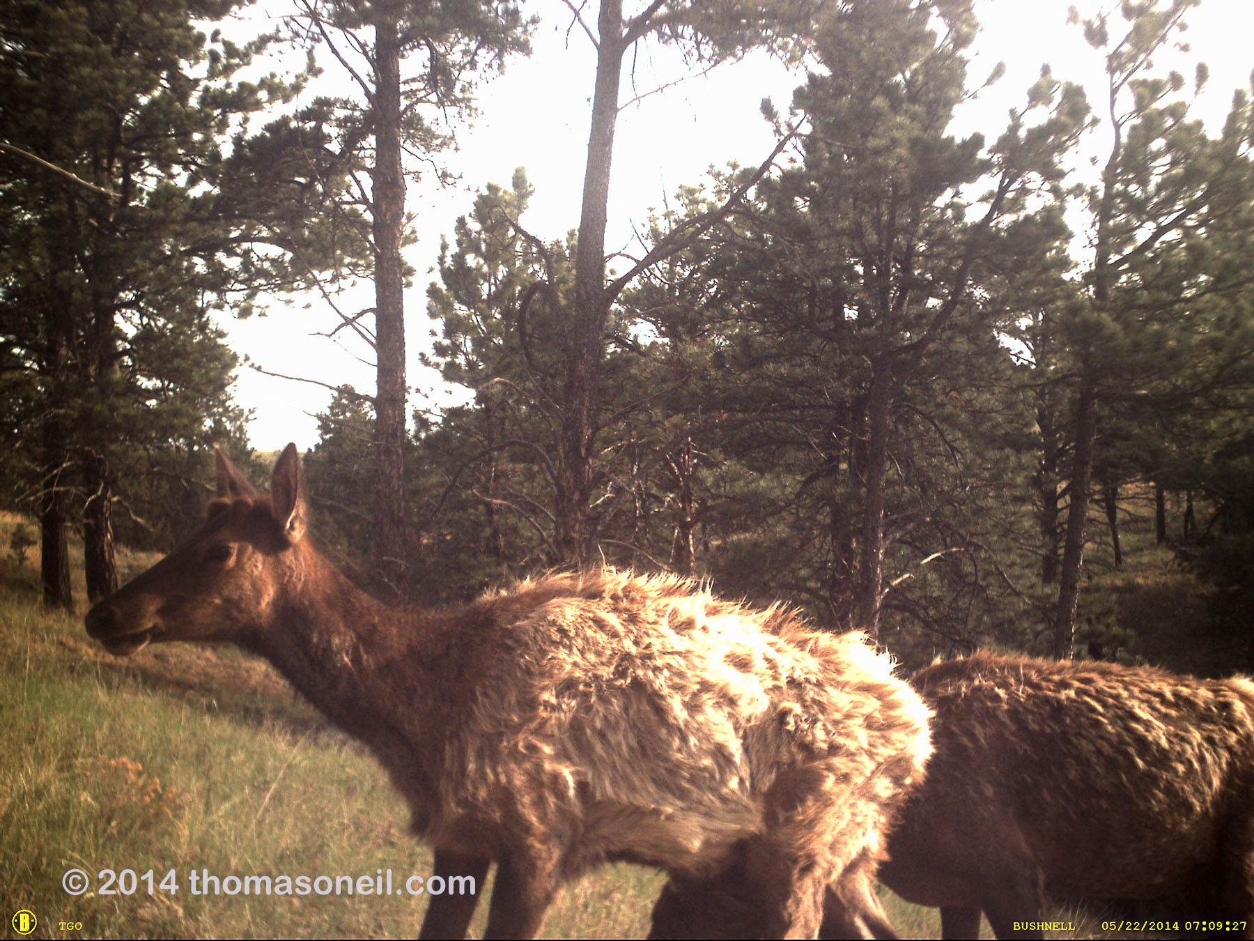 Elk on old Bushnell trailcam, Wind Cave National Park.  The Bushnell was retired after this.  Click for next photo.