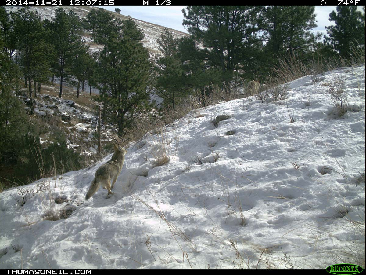 Second coyote chasing the first (still visible) on trailcam, Custer State Park, November 2014.  Click for next photo.