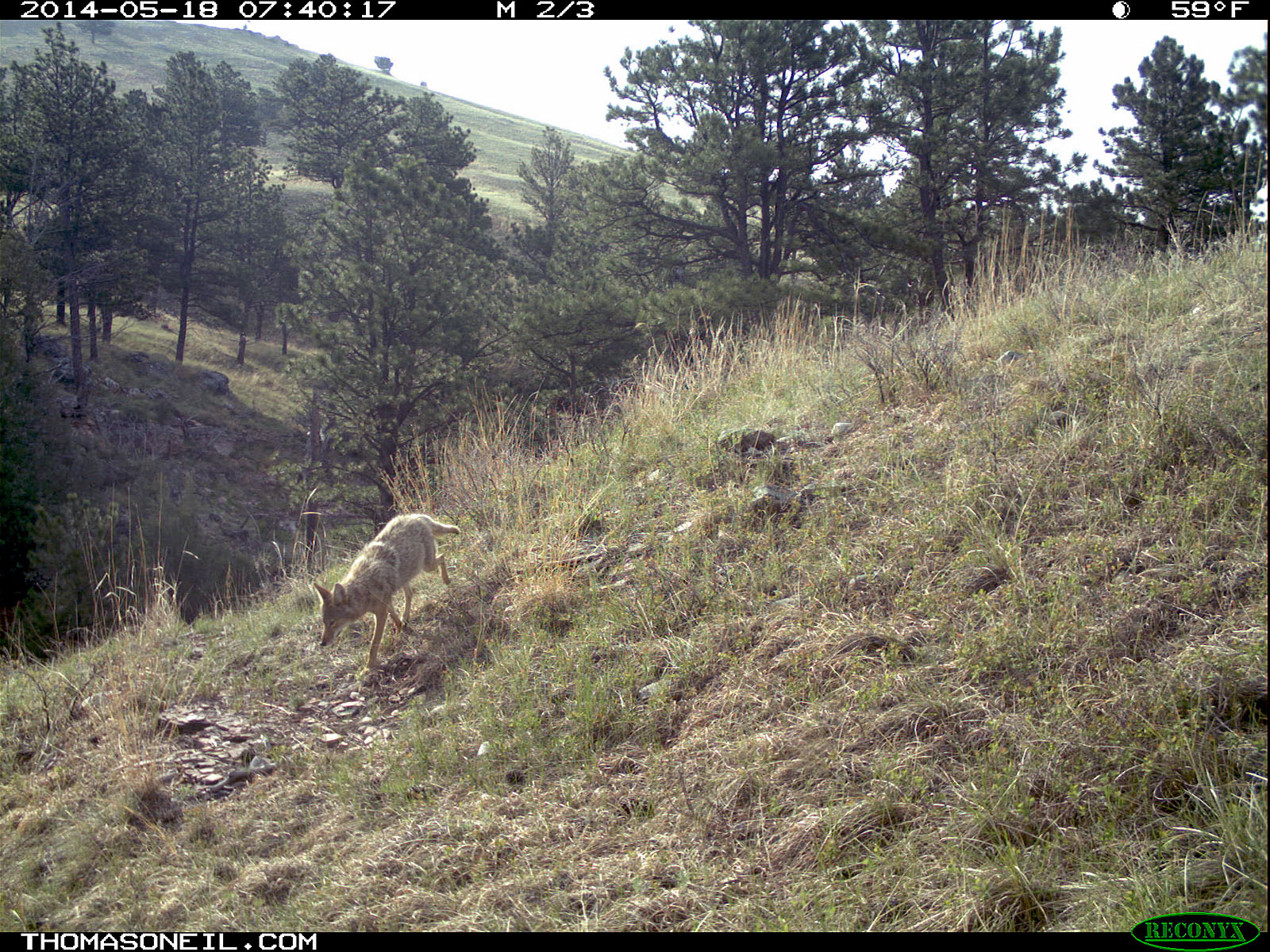 Coyote on Reconyx trailcam, Wind Cave National Park.  Click for next photo.