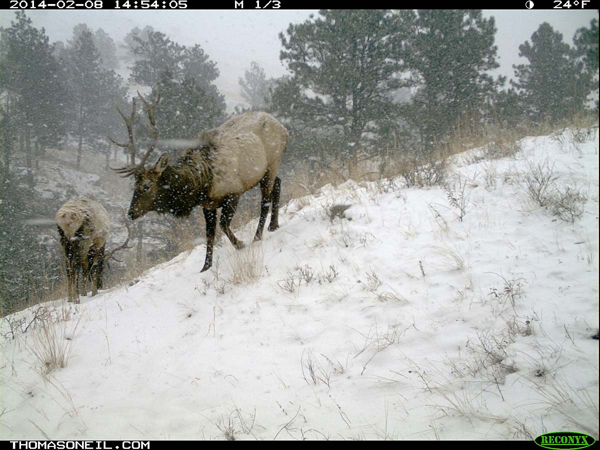Elk on trail camera, Wind Cave National Park, South Dakota, Feb. 8, 2014.  Click for next photo.