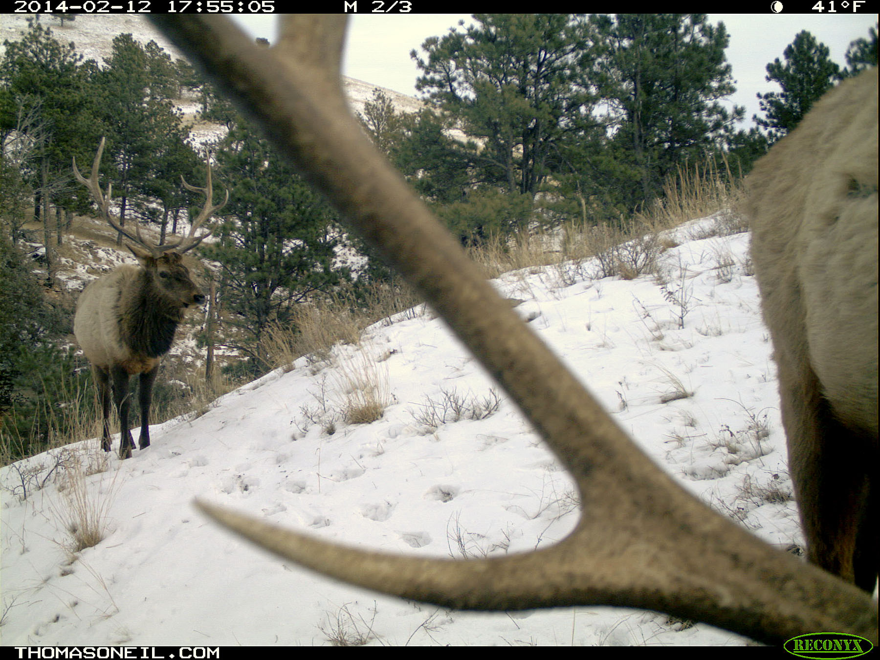 Elk on trail camera, Wind Cave National Park, February 2014.  Click for next photo.